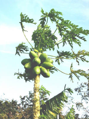 Fruit/Papaya01.JPG
